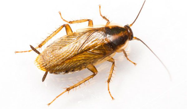 Upclose picture of a german cockroach
