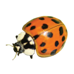 a single asian lady beetle on a white background