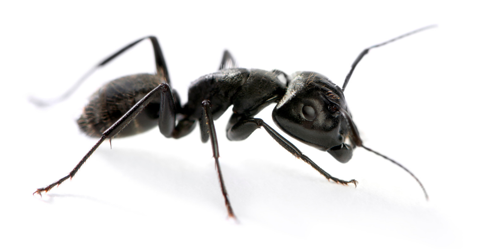 a close up image of a single carpenter ant