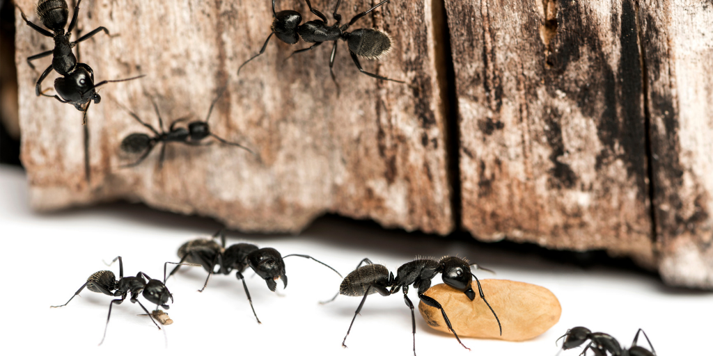 a group of carpenter ants carrying a egg around