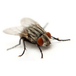 a single cluster fly on a white background