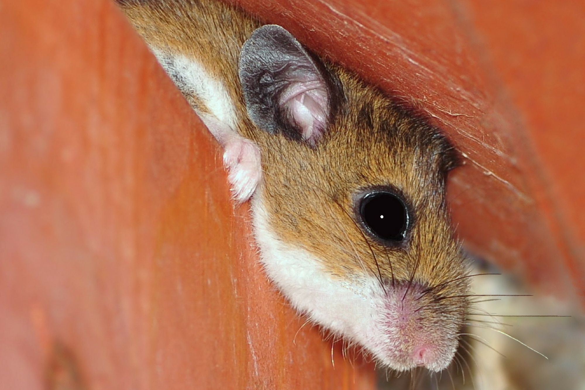 a deer mouse hiding in a wooden structure