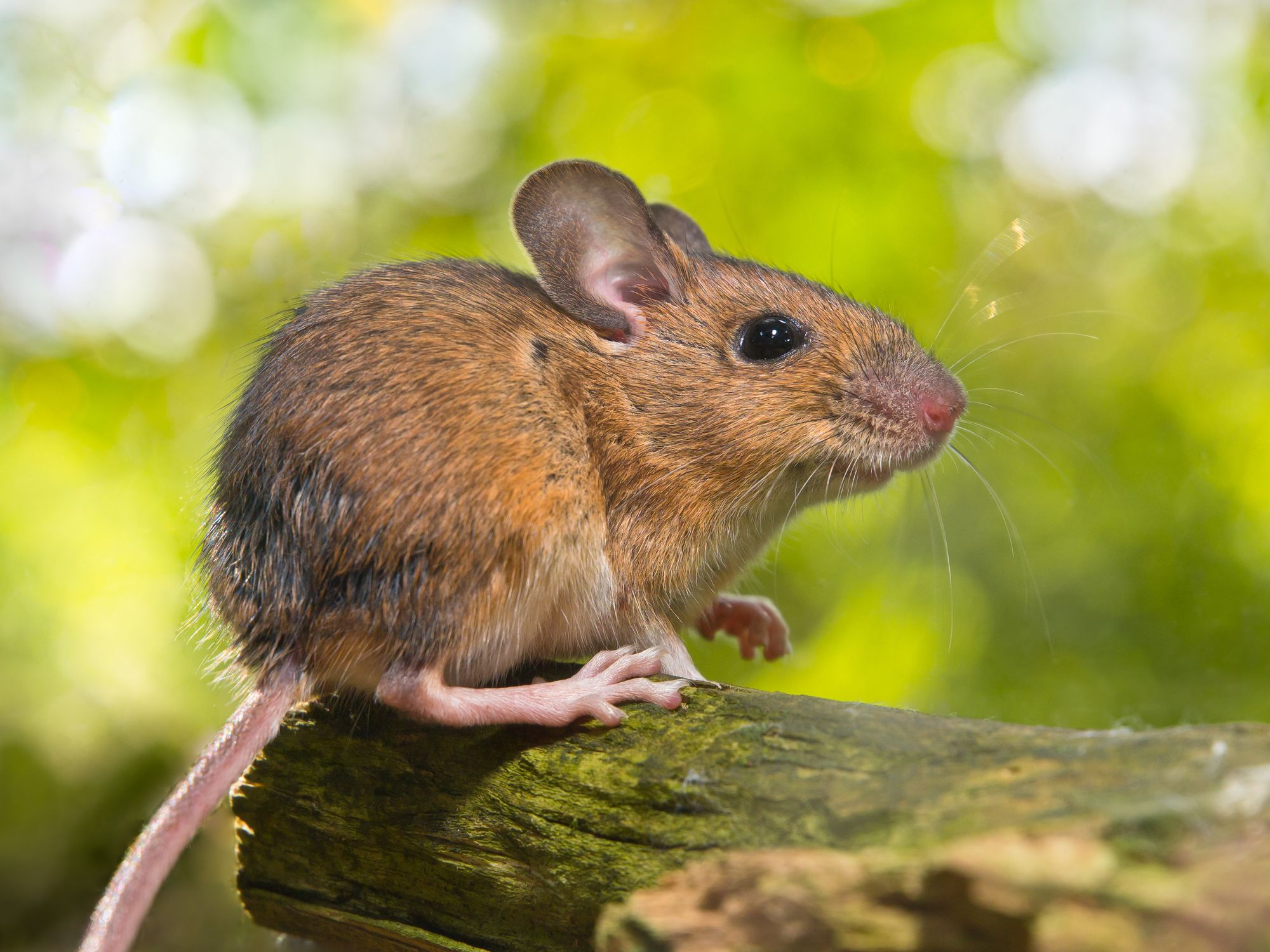 a field mouse sitting on the ground