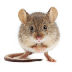 a single mouse on a white background