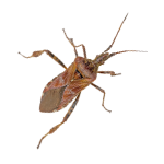 a single western conifer seed bug on a white background