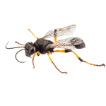 a single wasp on a white background