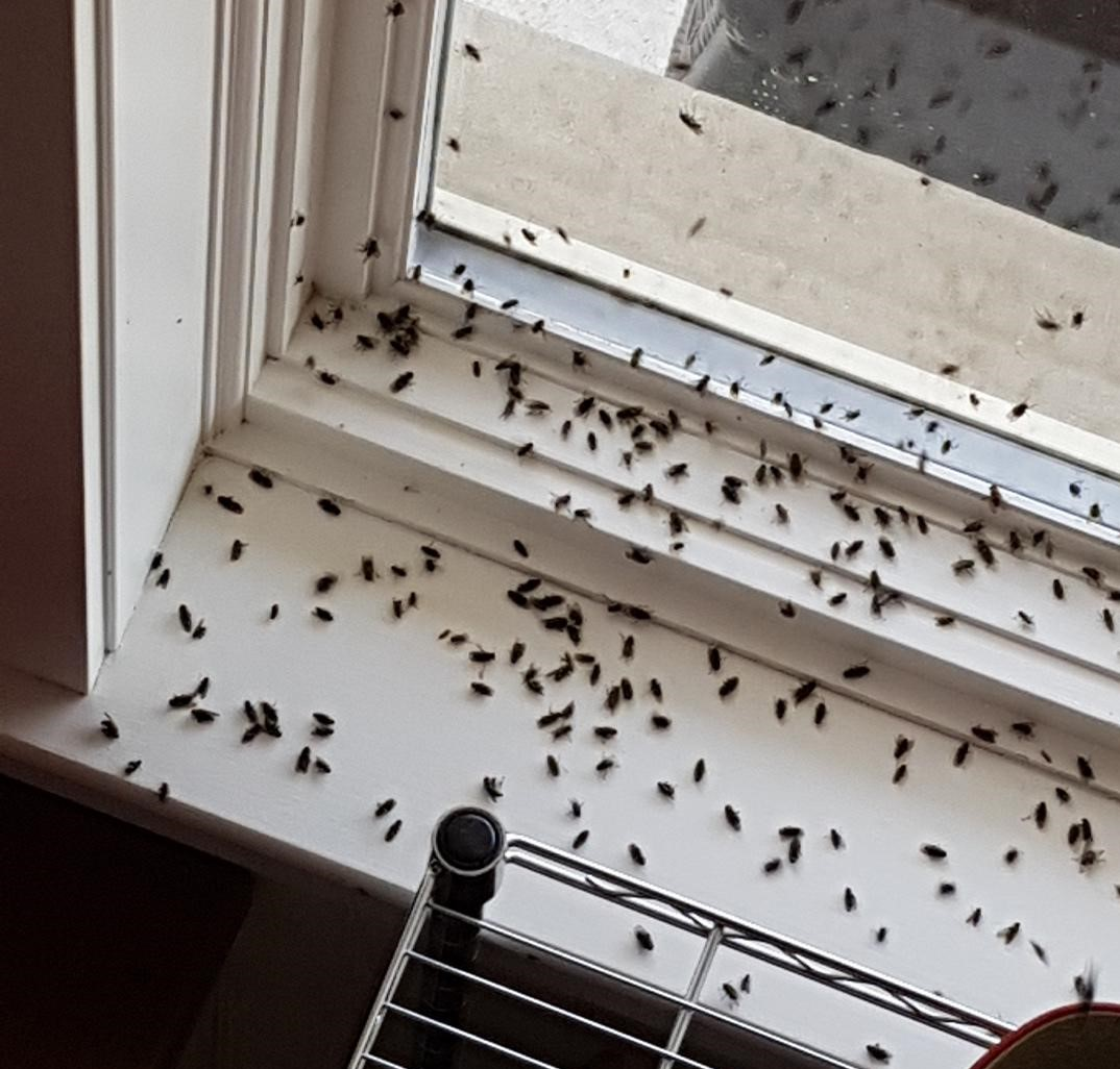 Cluster flies on a window ledge on a home