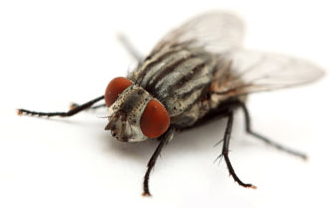 Image of a Cluster Fly