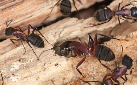 carpenter ants infesting a piece of wood