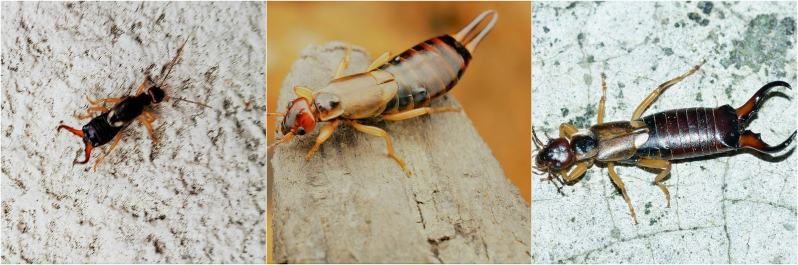A picture of earwigs