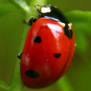 Lady populations asian bugs