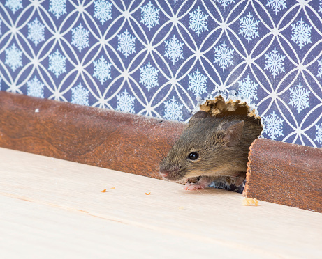 Grey mouse infesting a home through a hole in a blue wall