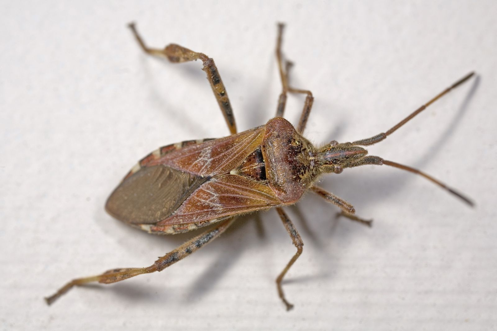 How to get rid of stink bugs from Environmental Pest Control