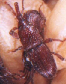 A granary weevil infesting a stored product