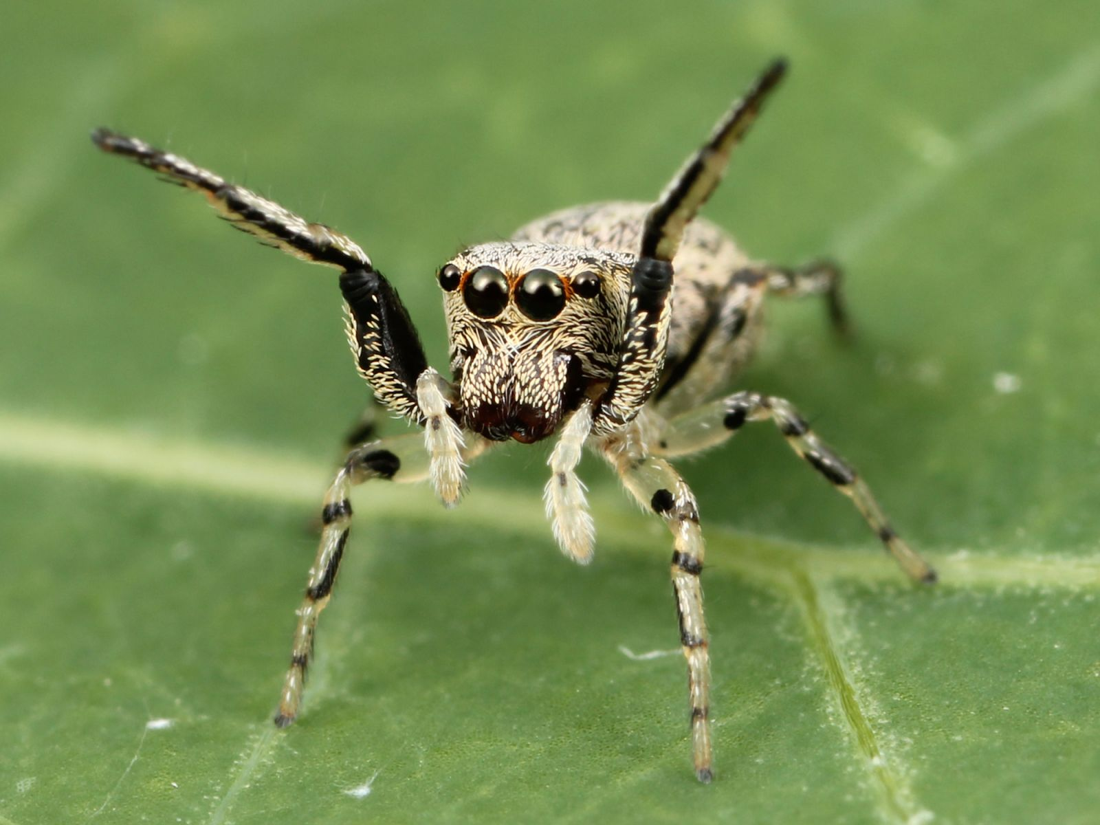 A jumping spider in nature