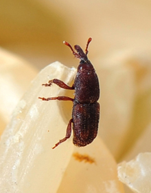 A rice weevil infesting a stored product