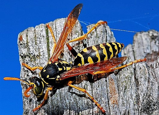 Wasp in nature