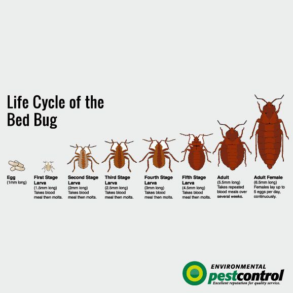 Bed Bugs Interesting Facts